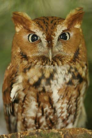 fluffy tuft: Profile Screech Owl