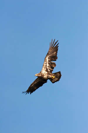 immature: Immature Bald Eagle In Flight in Wisconsin