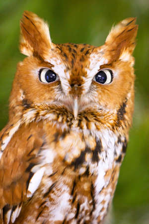 Screech Owl Closeup Headshot  photo