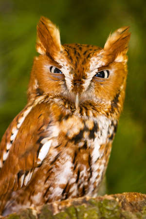 keen: Small Screech Owl Gives A Angry Mad Glad