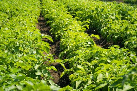 Green potatoes field Stock Photo - 9897889