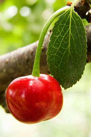 Cherry object in natural place Stock Photo - 9897884