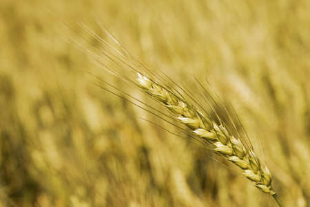 Wheat ear below smooth wheatfield background Stock Photo