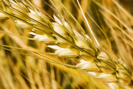 Diagonal wheat macro with smooth background