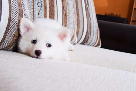 Little puppy lies on a couch