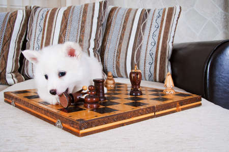 Little puppy lies on a couch and play with chess doll