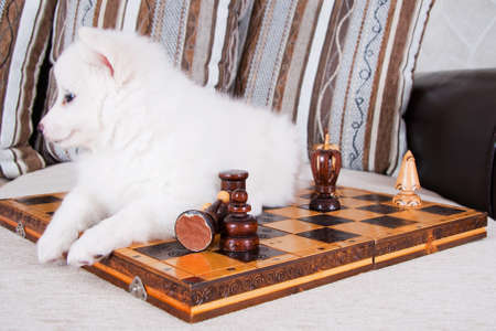 Little puppy lies on chess table Stock Photo