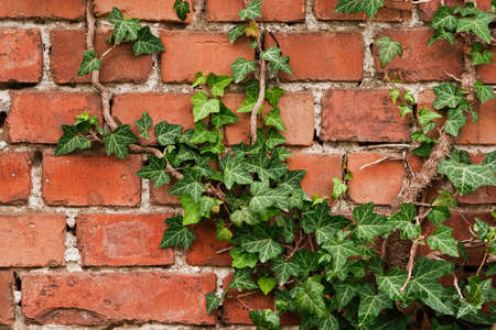 Old brick wall texture with creep Stock Photo