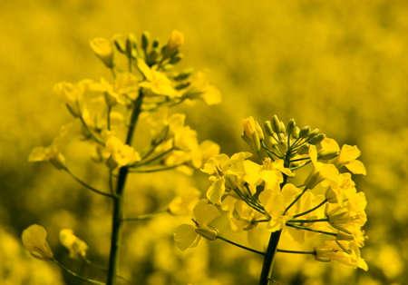 Canola flowers filed