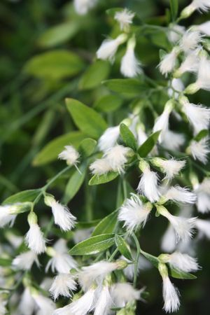 flowering plant: Closeup fibre vegetali. Buon esempio di fioritura delle piante con propriet� di dispersione del vento. Girato nel sud della Florida.