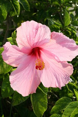 Pink Hibiscus in Sunlight