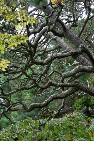 Intricate branches on a twisted pine tree. Stock Photo