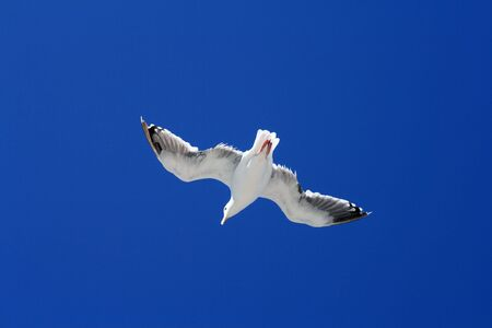 Closeup of a seagull in flight with a perfect blue sky as the backdrop.
