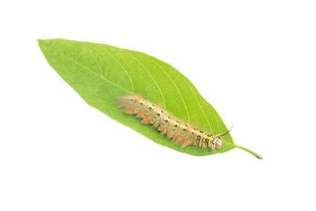 chomp: worm on a green leaf on a white background