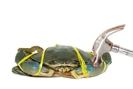 hammered: Raw black crab tied with rope yellow and hammered on white background.