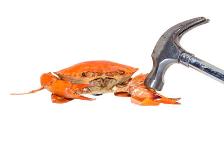 demonstrate: Demonstrate how to eat steamed crabs by hammered a claw on a white background.