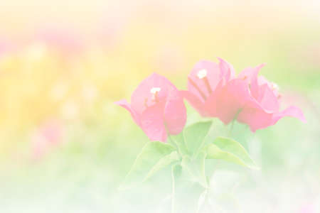 color bougainvillea: the  bougainvillea flower a color adjustment in soft style for background.;style image blur.