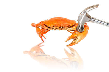 hammered: Demonstrate how to eat steamed crabs by hammered a claw on a white background.