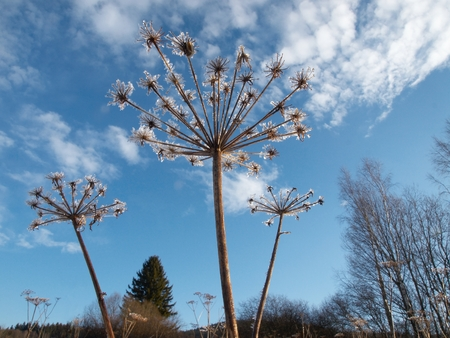 parship: Melting frost on the withered inflorescence Giant Hogweed