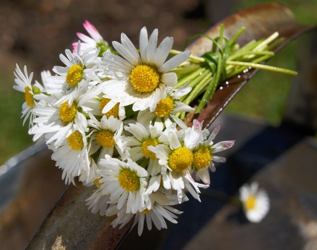 Small dewy bouquet of daisies on the handle of the old watering cans          photo