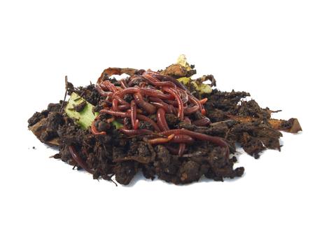 Ball of redworms  Eisenia fetida  on the compost pile  Stock Photo