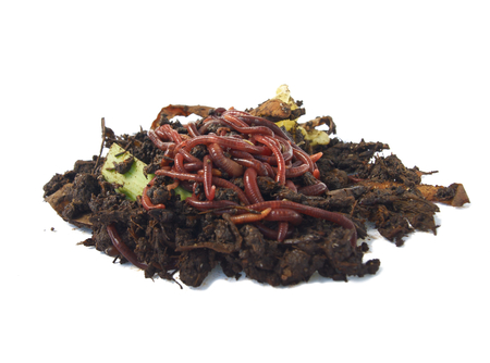 wigglers: Ball of redworms  Eisenia fetida  on the compost pile  Stock Photo