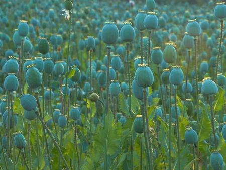 Unripe green poppy  Papaver somniferum L   field at sunset          photo