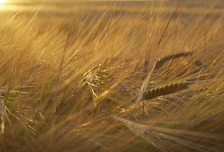 agronomic: Field of ripe rye at sunset  Stock Photo