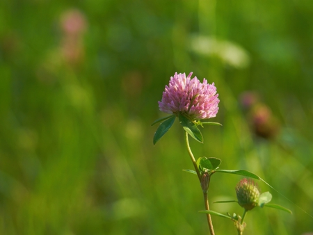 red clover: One flowering red clover ( Trifolium pratense )  in a meadow Stock Photo