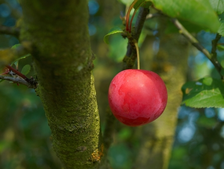 alycha: One cherry plum fruit hanging on a branch