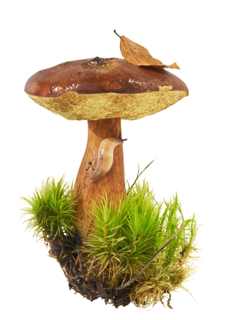 Brown  Bay Bolete in a clump of moss, slug crawling with a fallen leaf on white background photo