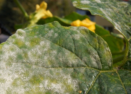 Pumpkin leaf, strongly affected by mildew, with pumpkin flowers in the background