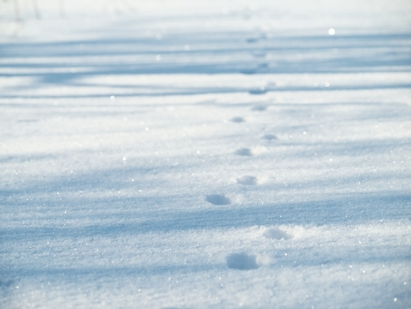 bourne: Cat footsteps in the snow in morning light with shadows on the snow Stock Photo