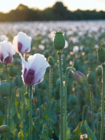 seedpod: Blossoming green poppy (Papaver somniferum L.) field at sunset