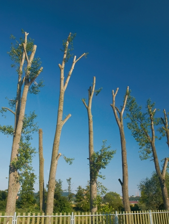 vocational: Row of poplar trees ( Populus L. ) after a vocational cut