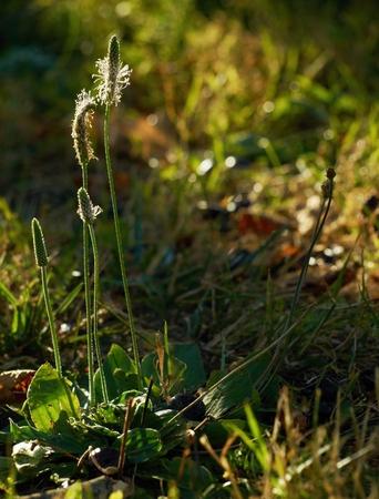 expectorant: Plantain ( Plantago media ) in the summer evening sunlight.