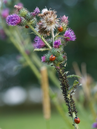hexapoda: Thistle full of ladybirds that eating aphids