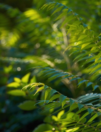 offshoot: Young offshot of Rhus typhina in morning sunlight Stock Photo