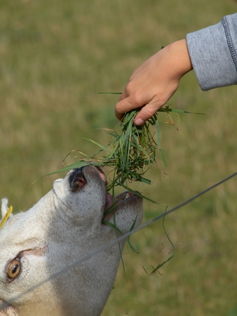 feeds: Close-up of a young boys hand that feeds a sheep Stock Photo