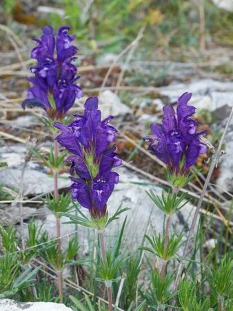 a rare: Dracocephalum austriacum is rare, critically endan-gered plant species. Stock Photo