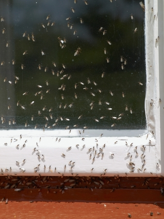 Swarming of ants on a rural house window Stock Photo
