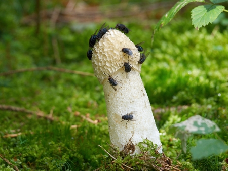 cepe: Mature fruiting bodies of the Common stinkhorn (Phallus impudicus)  protrudes from the needle-covered forest soil with flies on its top.