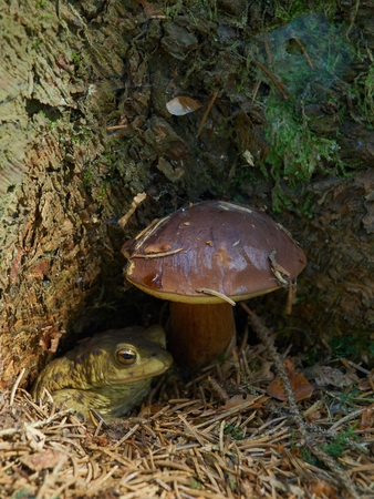 bufo toad: European common Toad (Bufo bufo) sitting  under a Bay Bolete Stock Photo