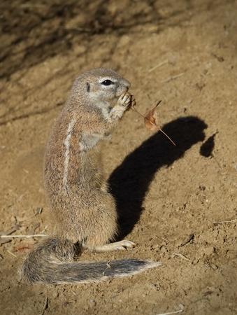 Cape ground squirrel  - Xerus Inauris