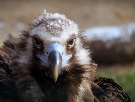 Close up of  Eurasian black vulture -Aegypius Monachus.