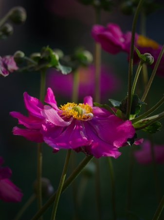 Blossoming pink Coreopsis flower in the summer evening garden.