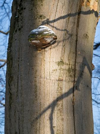 Bracket fungus - Willow bracket or Fire sponge - Phellinus igniarius, on death beech tree trunk with blue sky in the background.