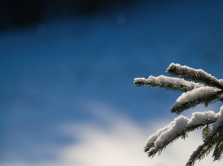 Snowy spruce twig on the background of shady slope under the woods.