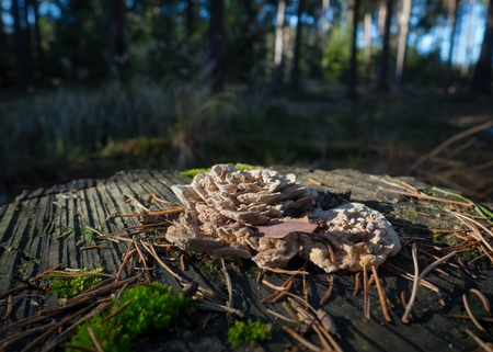 Bracket fungun on tree stump with forest and blue sky in the background. Stock Photo