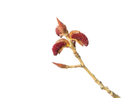 Buds of poplar tree with catkins isolated on a white background